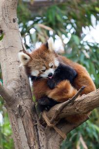 木に寄り添うレッサーパンダの写真素材 [FYI02838795]