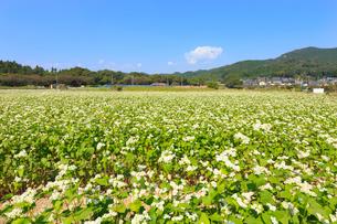 ソバの花畑の写真素材 [FYI02839018]