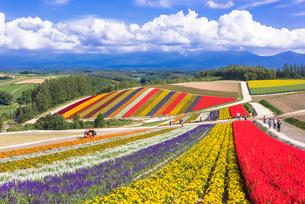 丘の町美瑛のお花畑の写真素材 [FYI02839073]