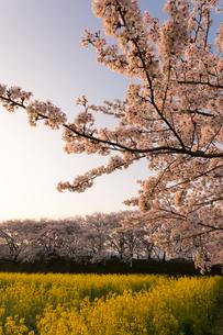 菜の花と桜満開の藤原宮跡の写真素材 [FYI02839076]