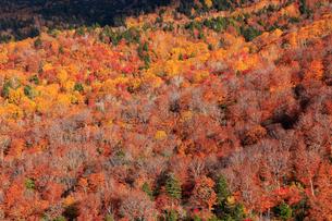 10月 紅葉の錦平 裏磐梯の秋の写真素材 [FYI02839153]