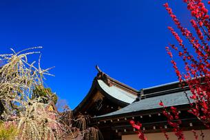 3月 しだれ梅の結城神社の写真素材 [FYI02839155]