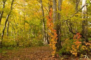 秋の月山 ブナ林の写真素材 [FYI02839169]
