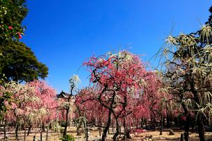 3月 しだれ梅の結城神社の写真素材 [FYI02839183]