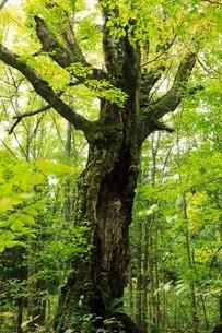 岳岱(だけたい)自然観察教育林のブナ林-世界遺産の白神山地-の写真素材 [FYI02839195]