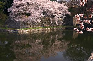 4月 桜咲く彦根城のお堀の写真素材 [FYI02839346]