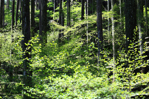 新緑に映える複層林の写真素材 [FYI02839368]