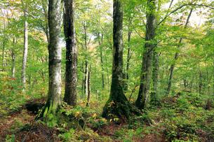 岳岱(だけたい)自然観察教育林のブナ林-世界遺産の白神山地-の写真素材 [FYI02839394]