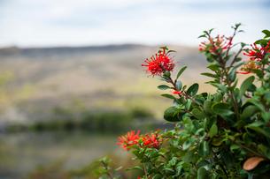 パタゴニアの植物:ノトロの花の写真素材 [FYI02839409]
