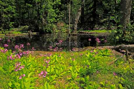 6月 ノンノの森  北海道セラピーの森の写真素材 [FYI02839411]