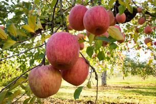 リンゴの写真素材 [FYI02839421]