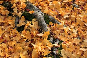 イチョウの枯葉の写真素材 [FYI02839433]