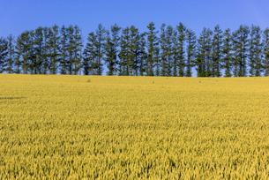 丘の町・美瑛の田園風景の写真素材 [FYI02839481]