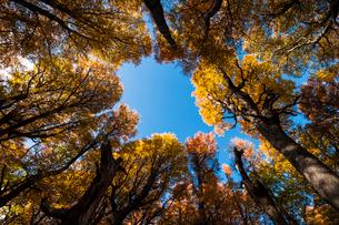 秋のパタゴニア:南極ブナの倒木から見上げた樹冠の写真素材 [FYI02839532]