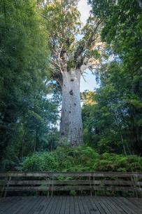 ニュージーランド、カウリフォレストの写真素材 [FYI02839595]