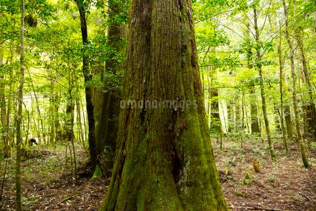 千本山のやなせ杉の写真素材 [FYI02839646]