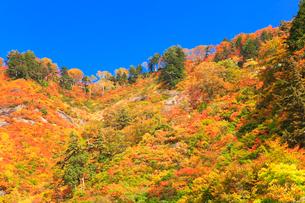 紅葉の木立と快晴の青空の写真素材 [FYI02839689]