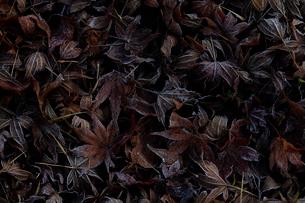 霜が着いたカエデの葉の写真素材 [FYI02839694]