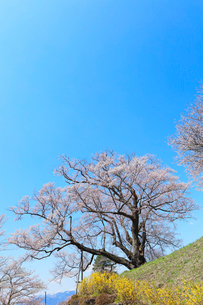 善勝寺桜の写真素材 [FYI02839756]