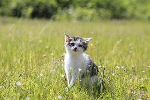 草原にたたずむ子猫の写真素材 [FYI02839784]