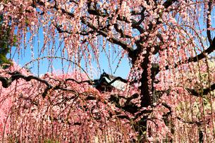 3月 しだれ梅の結城神社の写真素材 [FYI02839803]
