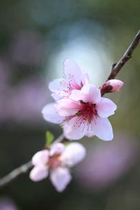 早春の柔らかい光を受けるモモの花の写真素材 [FYI02839820]