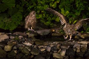 餌を捕るシマフクロウのつがいの写真素材 [FYI02839826]