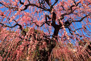 3月 しだれ梅の結城神社の写真素材 [FYI02839872]