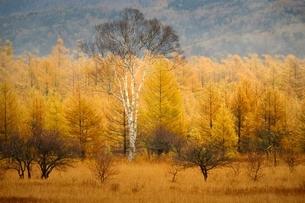 秋の小田代ヶ原にたたずむ貴婦人の木の写真素材 [FYI02839881]