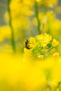 菜の花の蜜を吸うミツバチの写真素材 [FYI02839892]