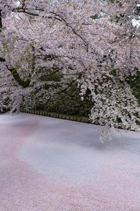 弘前城外堀を埋める花筏の写真素材 [FYI02839923]