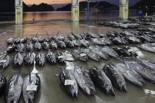 漁港の市場で競り落とされたマグロの写真素材 [FYI02840003]