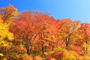 秋の白山白川郷ホワイトロード・紅葉に快晴の空の写真素材 [FYI02840051]