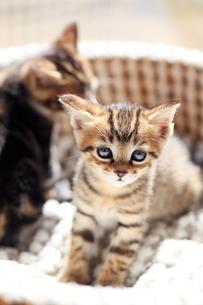まどろむ子猫の写真素材 [FYI02840061]