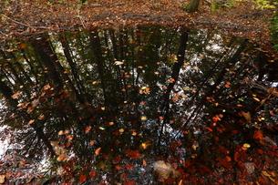 岳岱(だけたい)自然観察教育林のブナ林-世界遺産の白神山地-の写真素材 [FYI02840103]