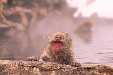 野猿公苑の日本猿の写真素材 [FYI02840184]