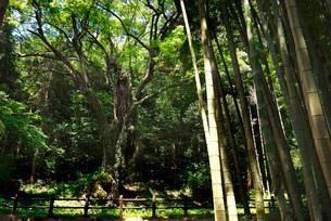 武雄の大楠と竹林の写真素材 [FYI02840199]