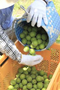 収穫される梅の写真素材 [FYI02840208]