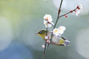 梅の花の蜜を求めて訪れたメジロの写真素材 [FYI02840219]