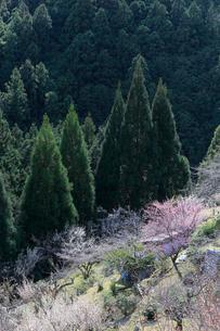 山里に咲く梅の写真素材 [FYI02840233]