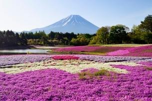 富士本栖湖リゾート・富士芝桜まつりの芝桜と富士山の写真素材 [FYI02840792]