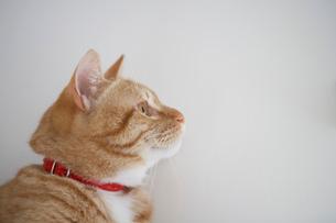 猫の横顔の写真素材 [FYI02841575]