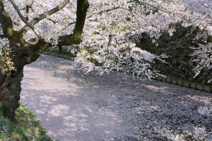 弘前城外堀を埋める花筏の写真素材 [FYI02842045]