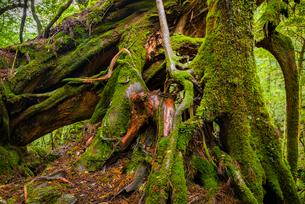 屋久島 白谷雲水峡 の写真素材 [FYI02842056]