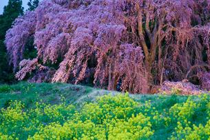 合戦場のしだれ桜の写真素材 [FYI02842085]