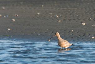 ふなばし三番瀬海浜公園・オグロシギの写真素材 [FYI02842703]