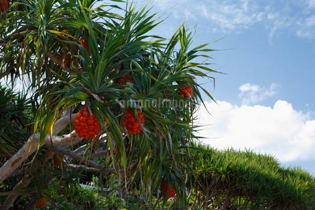 アダンの木 奄美大島の写真素材 [FYI02844626]
