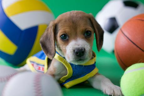 ビーグルのスポーツイメージの写真素材 [FYI02844748]