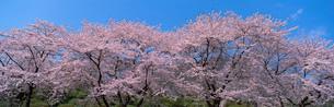 桜 小山町の写真素材 [FYI02845151]