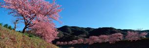河津桜 南伊豆町の写真素材 [FYI02845669]